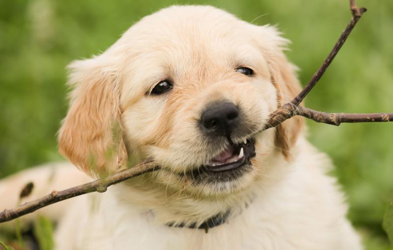 Lo Que Necesitas Saber si Vas a tener un Perro para Navidad
